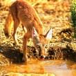 Iran Wildlife - Rare Fox