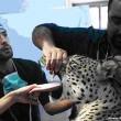 Persian Leopard10