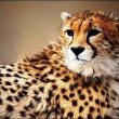 Iranian Cheetah