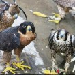 bird traffickers from smuggling falcons