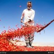 Harvesters pick berberis in Iran