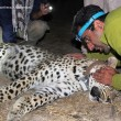 Persian leopards with GPS tracking (1)