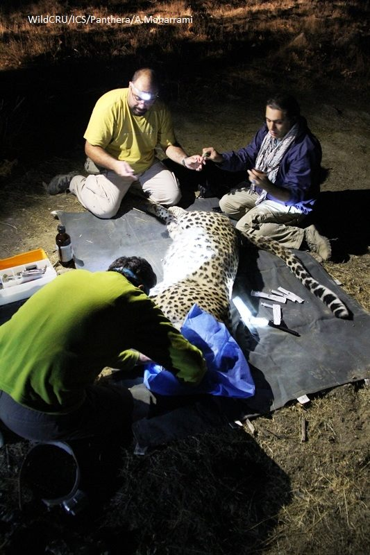 Persian leopards with GPS tracking (2)