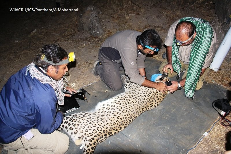 Persian leopards with GPS tracking (3)