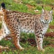 Iran-Wildlife-caracal