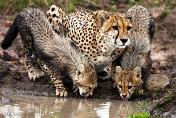 Iranian cheetah2