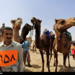 Camel Racing (13)