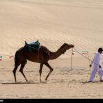 Camel Racing (6)
