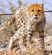 Delbar-Kooshki-Cheetah