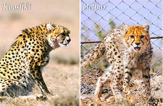 Delbar-Kooshki-Cheetah