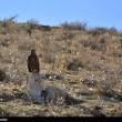 Iran wildlife-Golden Eagles