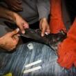 Goshawk rescue in Iran 7