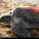 Green Sea Turtles-4986515