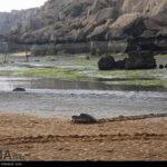 Green Sea Turtles-4986516
