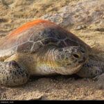 Green Sea Turtles-4986517