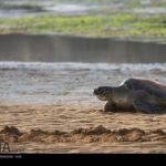 Green Sea Turtles-4986518