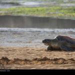 Green Sea Turtles-4986518