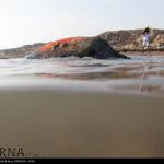 Green Sea Turtles-4986519