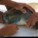 Green Sea Turtles-4986522