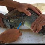 Green Sea Turtles-4986522