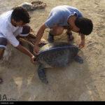 Green Sea Turtles-4986525