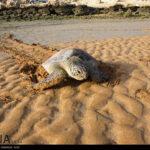 Green Sea Turtles-4986527