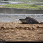 Green Sea Turtles-4986528