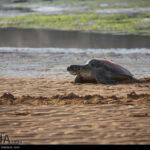 Green Sea Turtles-4986528