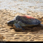 Green Sea Turtles-4986532