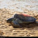 Green Sea Turtles-4986532