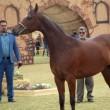 Iranian horses