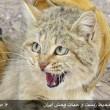 Iran-sand cat