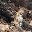 Persian Leopard-1