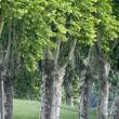 Trees in Iran01