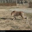 Iranian cheetah-1