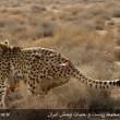 Iranian cheetah-11