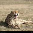 Iranian cheetah-Delbar