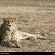 Iranian cheetah-3