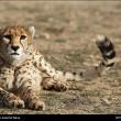 Iranian cheetah-4