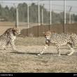 Iranian cheetah-6