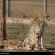 Iranian cheetah-8