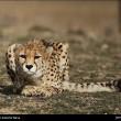 Iranian cheetah-9