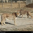 Iranian cheetah_b