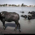 buffalo91