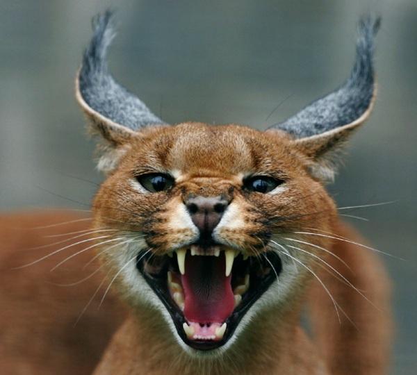 caracal-cat