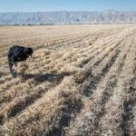 wheat and chaff68