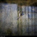 Cheetah65