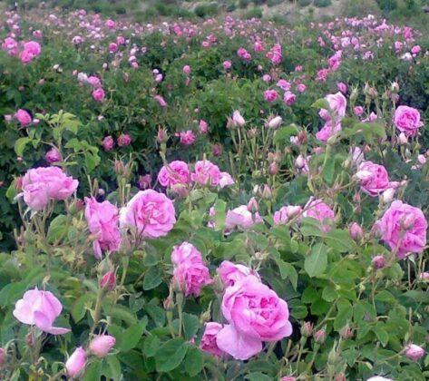 Qamsar Roses