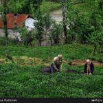 Tea harvest10
