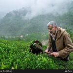Tea harvest12